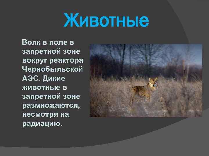 Животные Волк в поле в запретной зоне вокруг реактора Чернобыльской АЭС. Дикие животные в