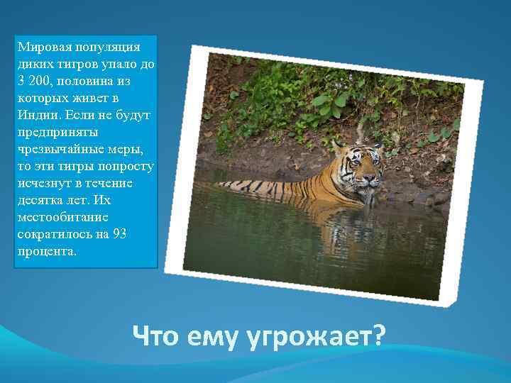 Мировая популяция диких тигров упало до 3 200, половина из которых живет в Индии.