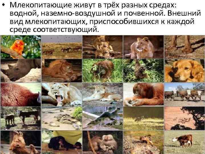• Млекопитающие живут в трёх разных средах: водной, наземно-воздушной и почвенной. Внешний вид