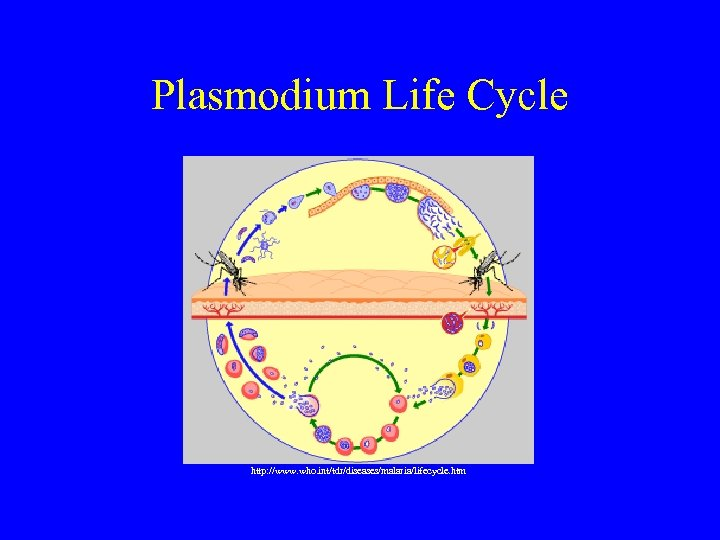 Plasmodium Life Cycle http: //www. who. int/tdr/diseases/malaria/lifecycle. htm