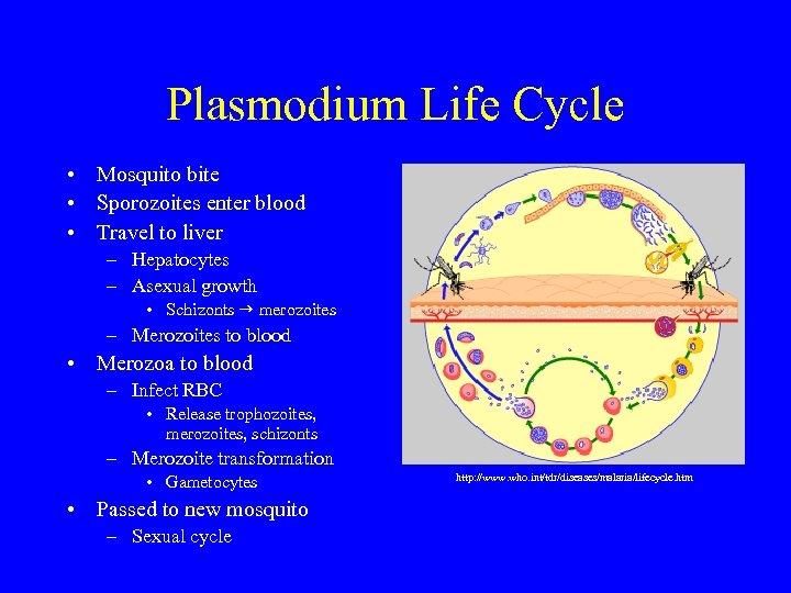 Plasmodium Life Cycle • Mosquito bite • Sporozoites enter blood • Travel to liver