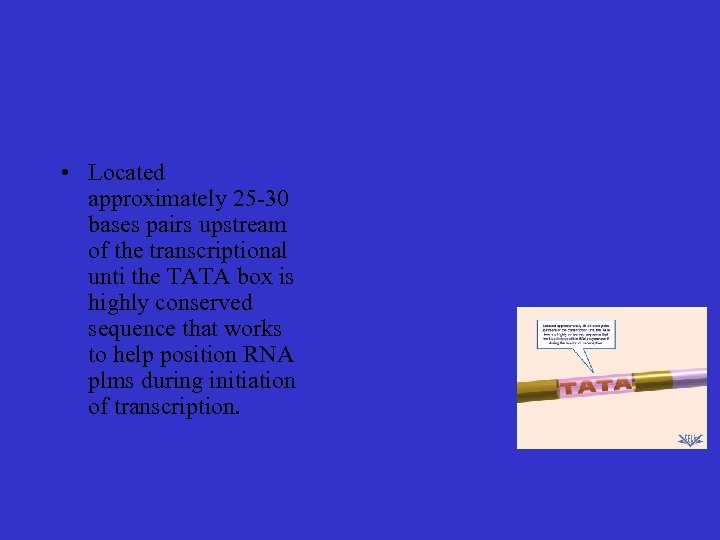 • Located approximately 25 -30 bases pairs upstream of the transcriptional unti the