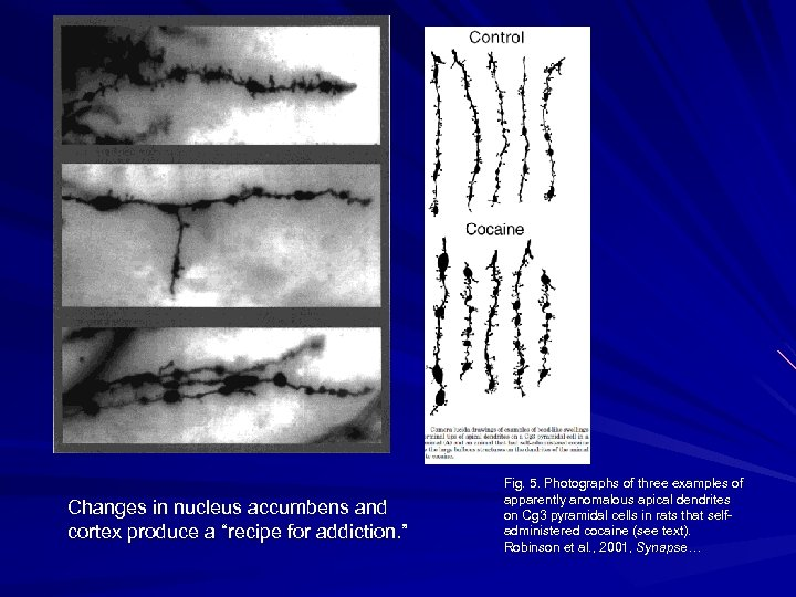 """Changes in nucleus accumbens and cortex produce a """"recipe for addiction. """" Fig. 5."""