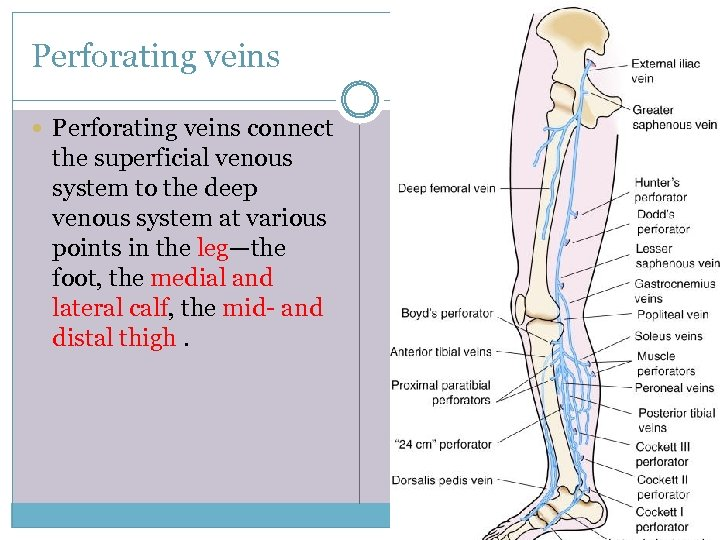 Perforating veins connect the superficial venous system to the deep venous system at various