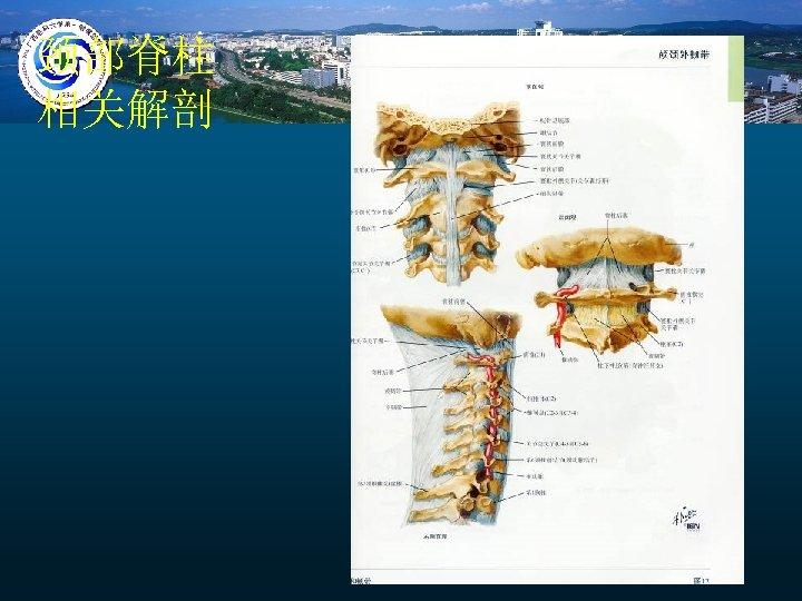 颈部脊柱 相关解剖