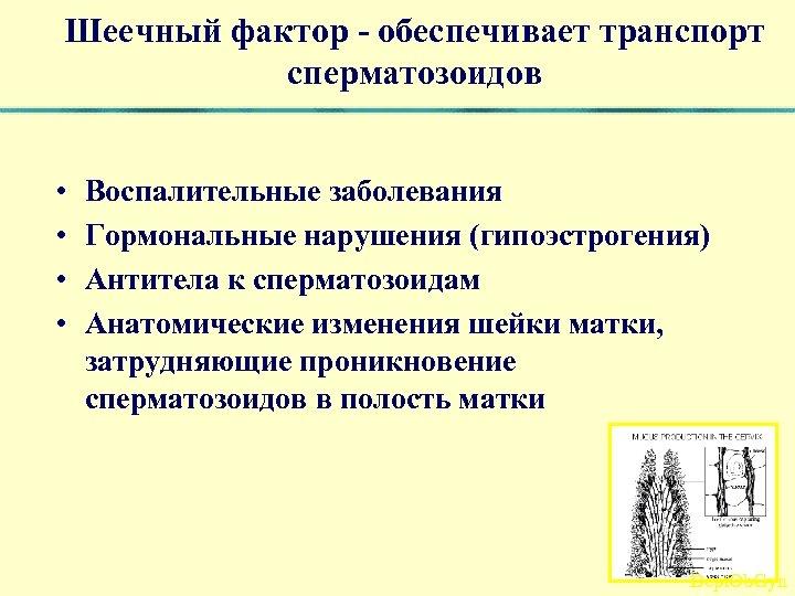 Шеечный фактор - обеспечивает транспорт сперматозоидов • • Воспалительные заболевания Гормональные нарушения (гипоэстрогения) Антитела