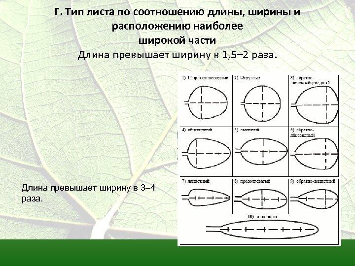 Г. Тип листа по соотношению длины, ширины и расположению наиболее широкой части Длина превышает