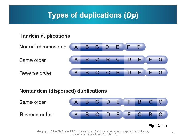 Types of duplications (Dp) Fig. 13. 11 a Copyright © The Mc. Graw-Hill Companies,