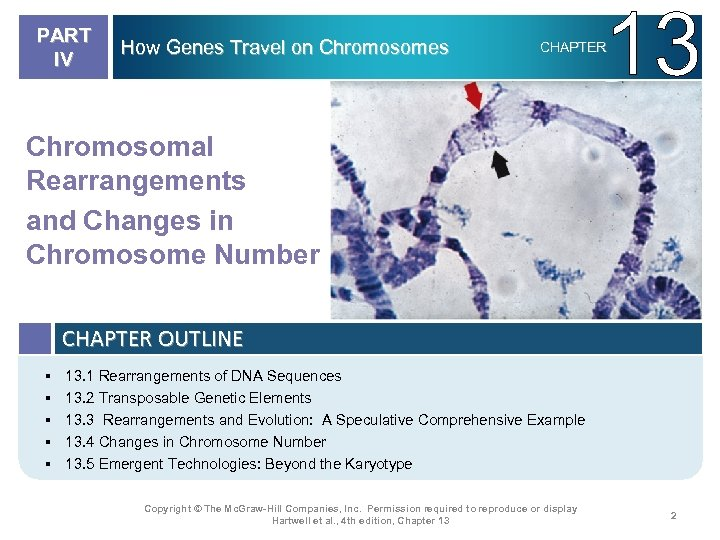 PART IV How Genes Travel on Chromosomes 13 CHAPTER Chromosomal Rearrangements and Changes in