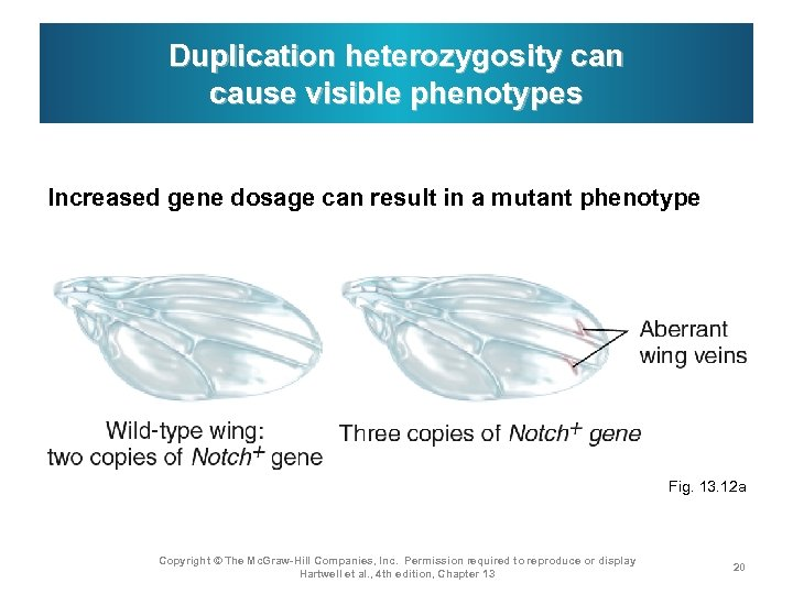 Duplication heterozygosity can cause visible phenotypes Increased gene dosage can result in a mutant
