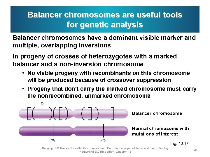 Balancer chromosomes are useful tools for genetic analysis Balancer chromosomes have a dominant visible