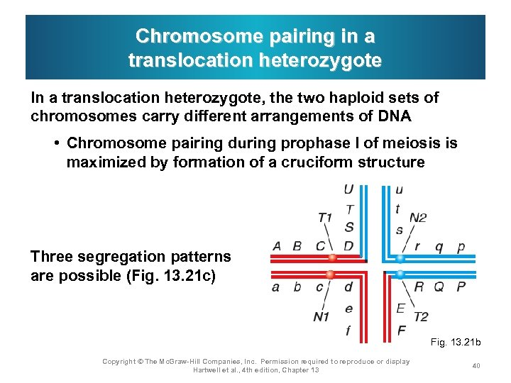 Chromosome pairing in a translocation heterozygote In a translocation heterozygote, the two haploid sets