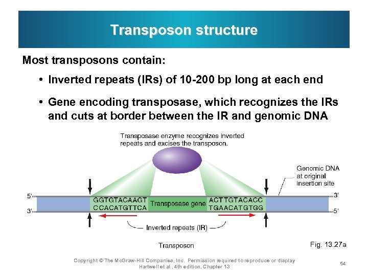 Transposon structure Most transposons contain: • Inverted repeats (IRs) of 10 -200 bp long
