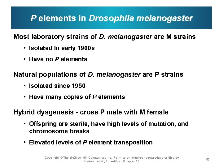 P elements in Drosophila melanogaster Most laboratory strains of D. melanogaster are M strains