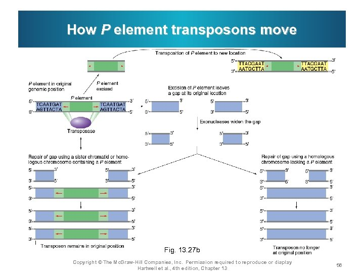 How P element transposons move Fig. 13. 27 b Copyright © The Mc. Graw-Hill