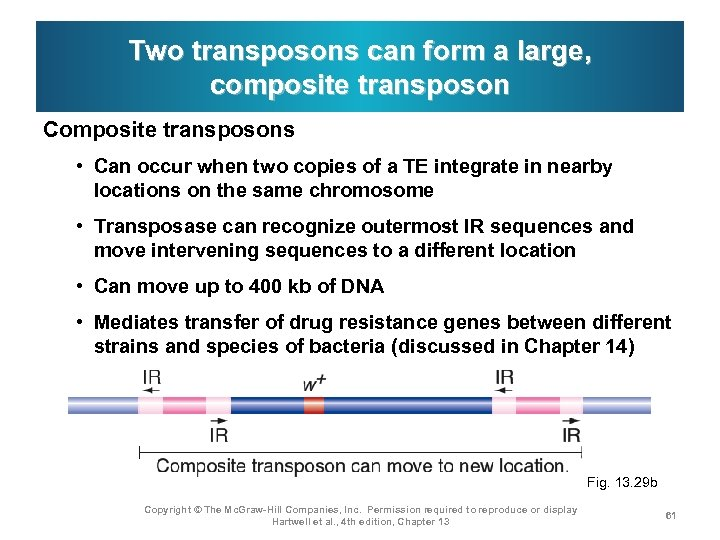 Two transposons can form a large, composite transposon Composite transposons • Can occur when