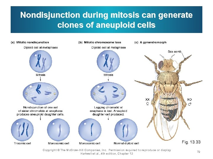 Nondisjunction during mitosis can generate clones of aneuploid cells Fig. 13. 33 Copyright ©