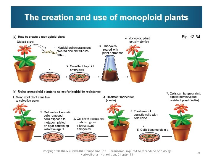 The creation and use of monoploid plants Fig. 13. 34 Copyright © The Mc.