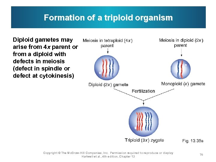 Formation of a triploid organism Diploid gametes may arise from 4 x parent or
