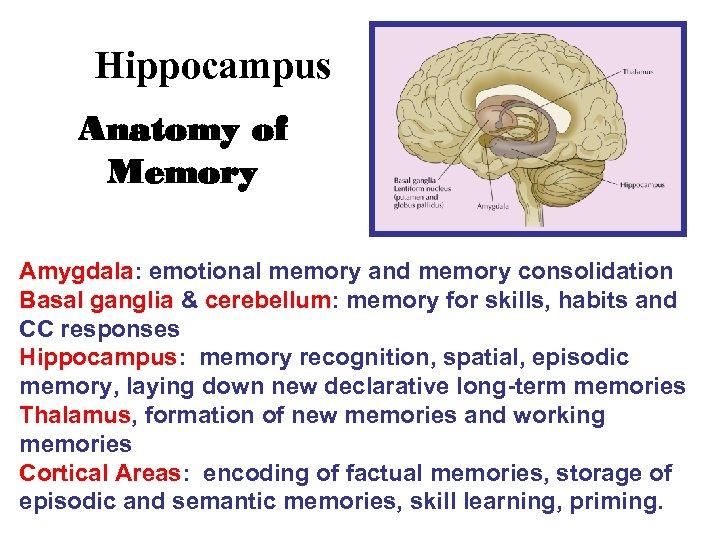 Hippocampus Anatomy of Memory Amygdala: emotional memory and memory consolidation Basal ganglia & cerebellum: