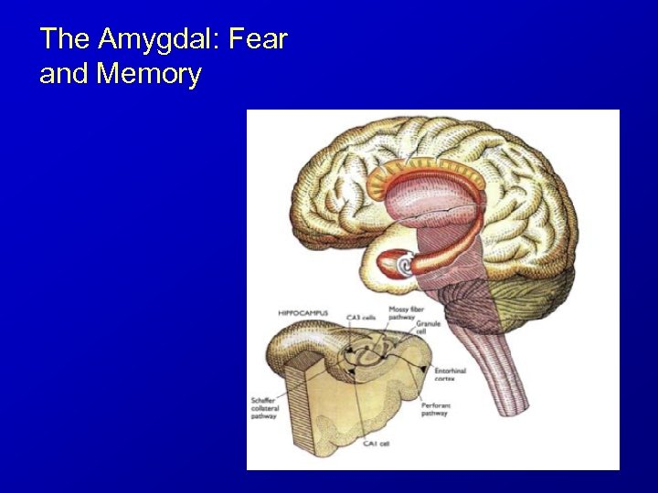 The Amygdal: Fear and Memory
