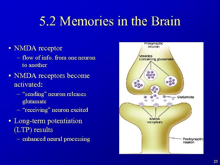 5. 2 Memories in the Brain • NMDA receptor – flow of info. from