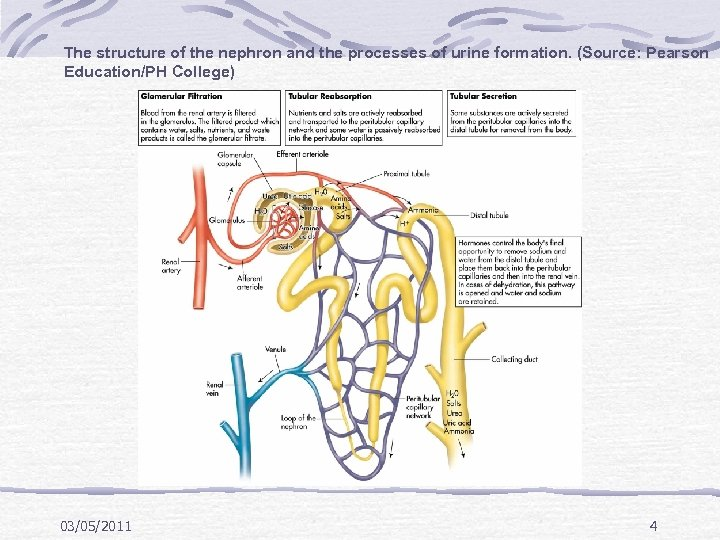 The structure of the nephron and the processes of urine formation. (Source: Pearson Education/PH