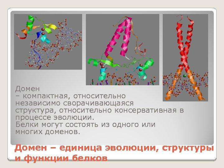 Домен – компактная, относительно независимо сворачивающаяся структура, относительно консервативная в процессе эволюции. Белки могут