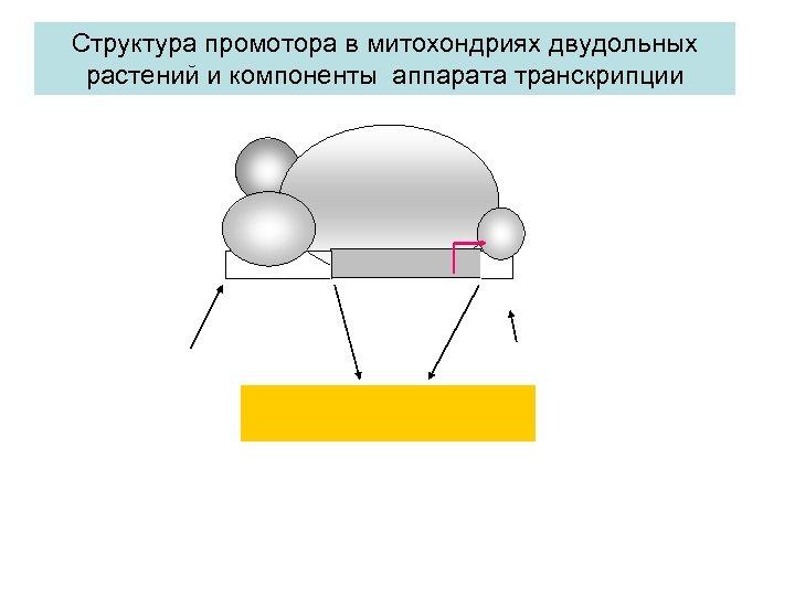 Структура промотора в митохондриях двудольных растений и компоненты аппарата транскрипции