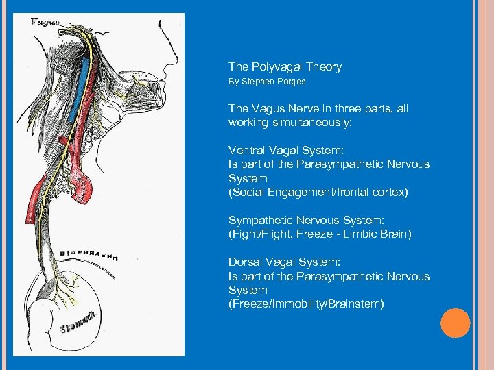 The Polyvagal Theory By Stephen Porges The Vagus Nerve in three parts, all working