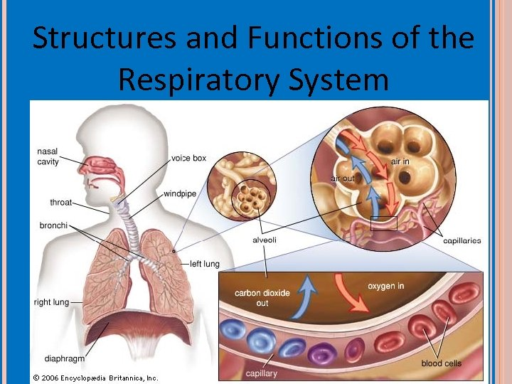 Structures and Functions of the Respiratory System