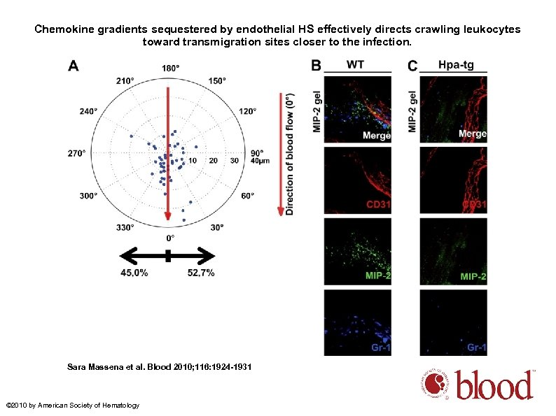Chemokine gradients sequestered by endothelial HS effectively directs crawling leukocytes toward transmigration sites closer