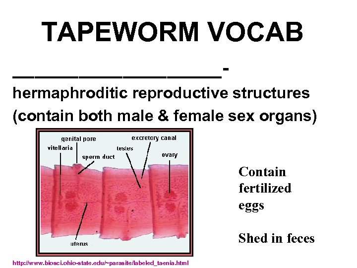 TAPEWORM VOCAB __________hermaphroditic reproductive structures (contain both male & female sex organs) Contain fertilized