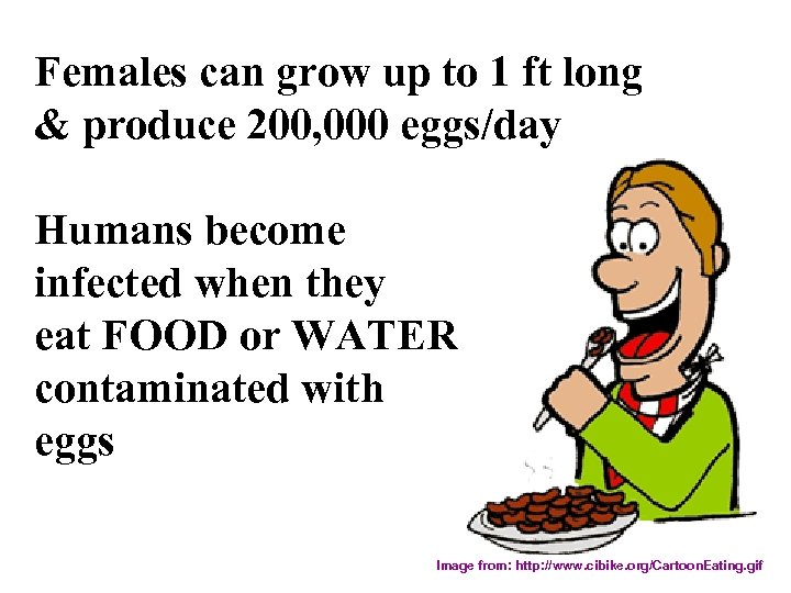 Females can grow up to 1 ft long & produce 200, 000 eggs/day Humans