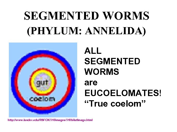 "SEGMENTED WORMS (PHYLUM: ANNELIDA) ALL SEGMENTED WORMS are EUCOELOMATES! ""True coelom"" http: //www. lander."
