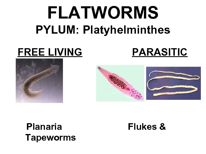 FLATWORMS PYLUM: Platyhelminthes FREE LIVING Planaria Tapeworms PARASITIC Flukes &