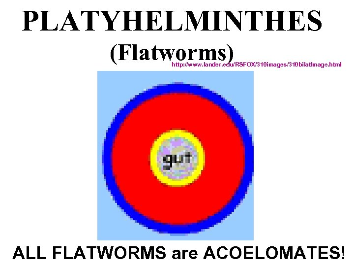 PLATYHELMINTHES (Flatworms) http: //www. lander. edu/RSFOX/310 images/310 bilat. Image. html ALL FLATWORMS are ACOELOMATES!