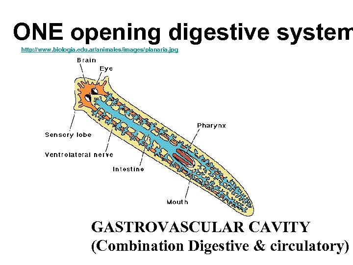 ONE opening digestive system http: //www. biologia. edu. ar/animales/images/planaria. jpg GASTROVASCULAR CAVITY (Combination Digestive