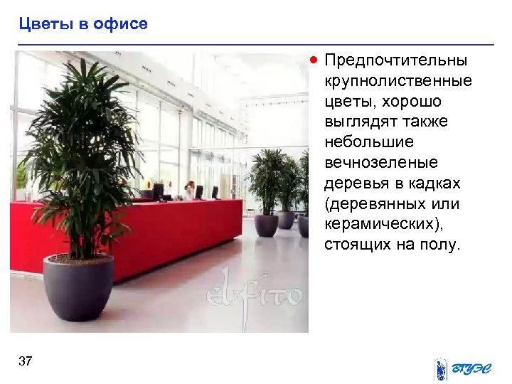 Цветы в офисе · Предпочтительны крупнолиственные цветы, хорошо выглядят также небольшие вечнозеленые деревья в