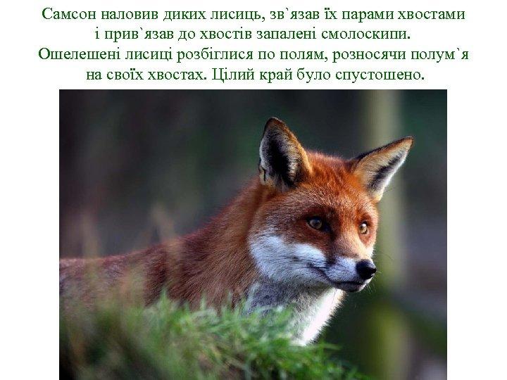 Самсон наловив диких лисиць, зв`язав їх парами хвостами і прив`язав до хвостів запалені смолоскипи.