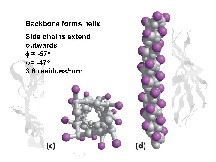 Backbone forms helix Side chains extend outwards f ≈ -57 o y≈ -47 o