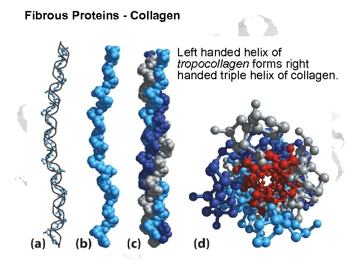 Fibrous Proteins - Collagen Left handed helix of tropocollagen forms right handed triple helix