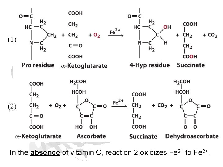 (1) (2) In the absence of vitamin C, reaction 2 oxidizes Fe 2+ to