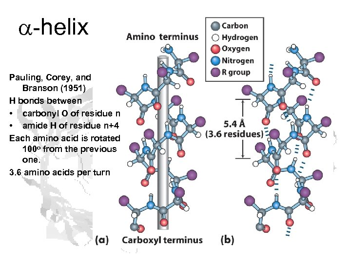 a-helix Pauling, Corey, and Branson (1951) H bonds between • carbonyl O of residue