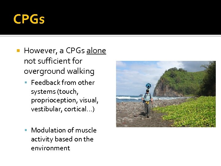 CPGs However, a CPGs alone not sufficient for overground walking Feedback from other systems