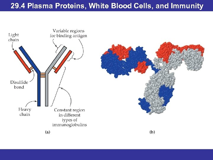 29. 4 Plasma Proteins, White Blood Cells, and Immunity