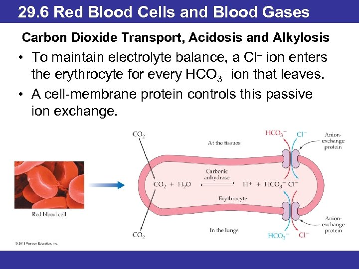 29. 6 Red Blood Cells and Blood Gases Carbon Dioxide Transport, Acidosis and Alkylosis