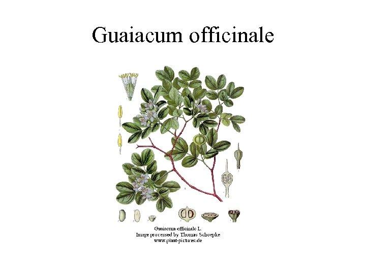 Guaiacum officinale