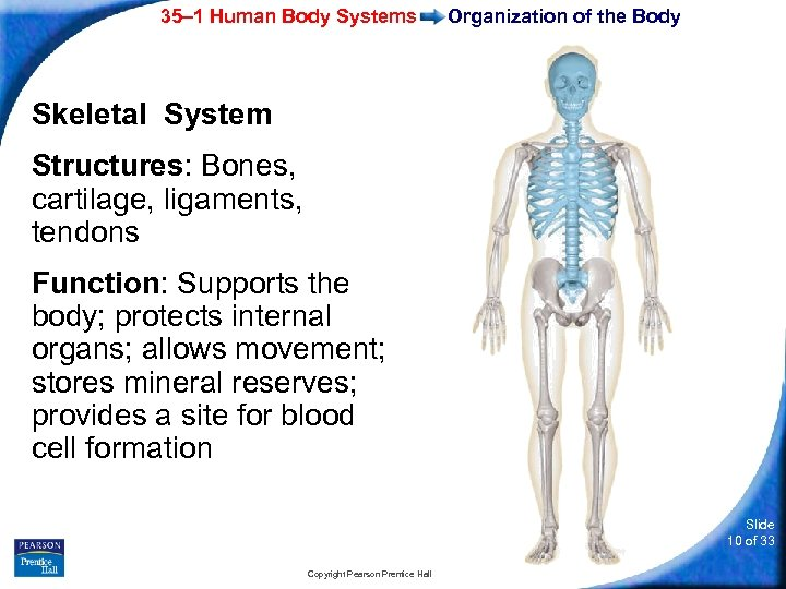 35– 1 Human Body Systems Organization of the Body Skeletal System Structures: Bones, cartilage,