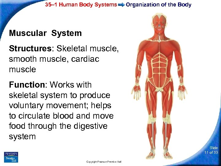 35– 1 Human Body Systems Organization of the Body Muscular System Structures: Skeletal muscle,